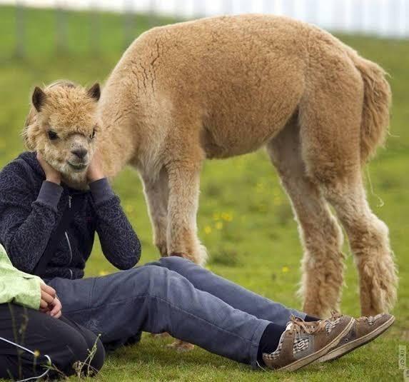 optical illusion person with llama head