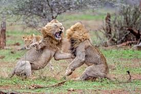 a majestic picture of two male lions mid-fight in the air