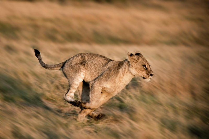 a majestic picture of a lioness running through the grass with everything else blurred
