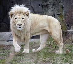 a majestic picture of a white male lion