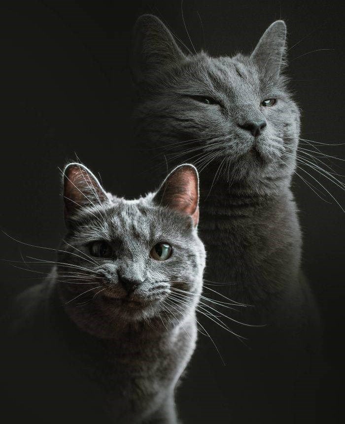 Cat portrait double exposure of various moods