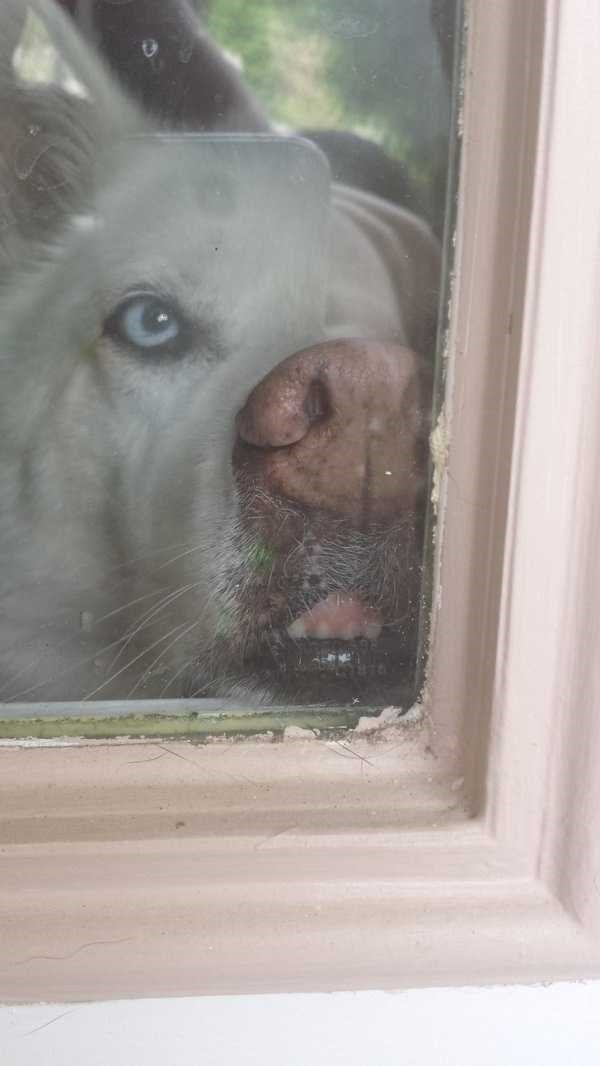 animals licking glass - Nose