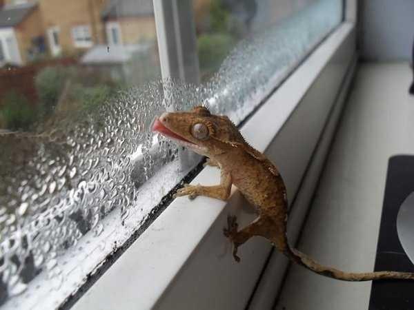 animals licking glass - Lizard
