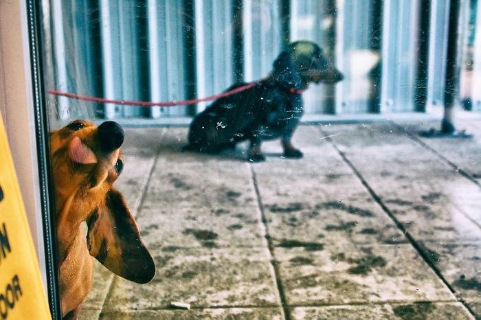 animals licking glass - Dog - BC