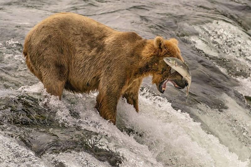 national geographic animal photos - Brown bear