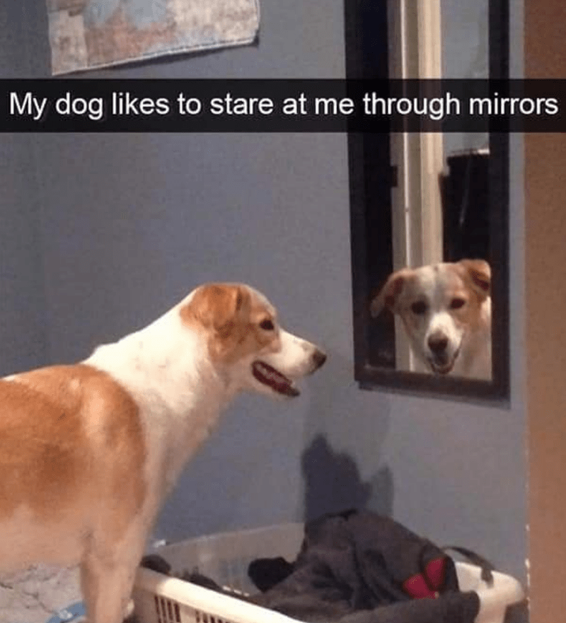 Dog - Dog - My dog likes to stare at me through mirrors