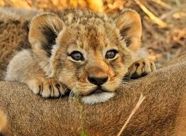 a cute picture of a small lion cub resting its chin on its mothers back