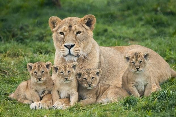 a beautiful picture of a lioness sitting with her four lion cubs sitting close to her and among her legs