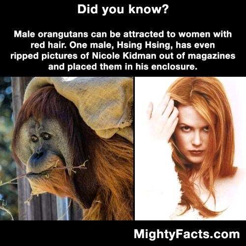 Hair - Did you know? Male orangutans can be attracted to women with red hair. One male, Hsing Hsing, has even ripped pictures of Nicole Kidman out of magazines and placed them in his enclosure. MightyFacts.com