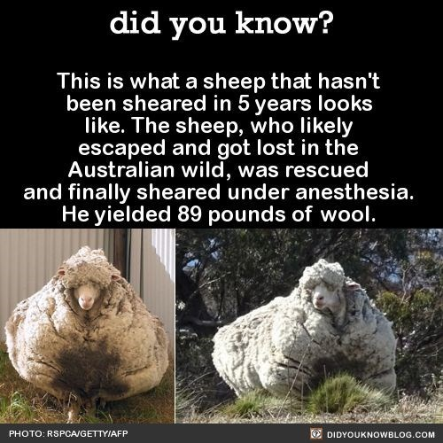 Organism - did you know? This is what a sheep that hasn't been sheared in 5 years loolks like. The sheep, who likely escaped and got lost in the Australian wild, was rescued and finally sheared under anesthesia. He yielded 89 pounds of wool. PHOTO: RSPCA/GETTY/AFP DIDYOUKNOWBLOG.COM