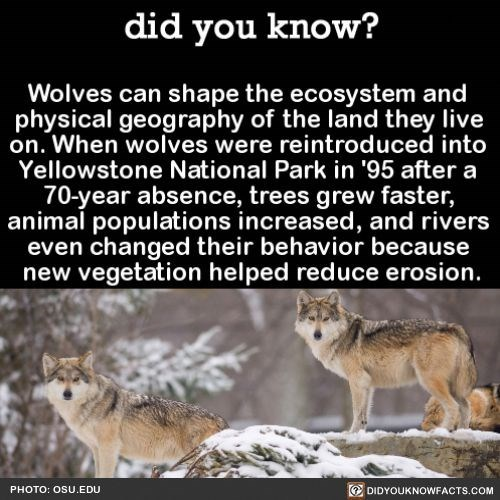 Wildlife - did you know? Wolves can shape the ecosystem and physical geography of the land they live on. When wolves were reintroduced into Yellowstone National Park in '95 after a 70-year absence, trees grew faster, animal populations increased, and rivers even changed their behavior because new vegetation helped reduce erosion. DIDYOUKNOWFACTS.COM PHOTO: OSU.EDUu
