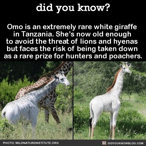 Terrestrial animal - did you know? Omo is an extremely rare white giraffe in Tanzania. She's now old enough to avoid the threat of lions and hyenas but faces the risk of being taken down as a rare prize for hunters and poachers. PHOTO: WILDNATUREINSTITUTE.ORG DIDYOUKNOWBLOG.COM