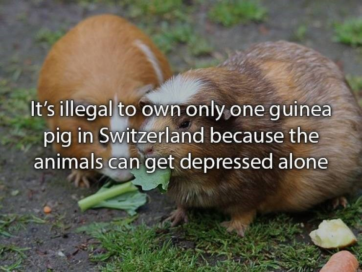 Adaptation - It's illegal to own only one guinea pig in Switzerland because the animals can get depressed alone