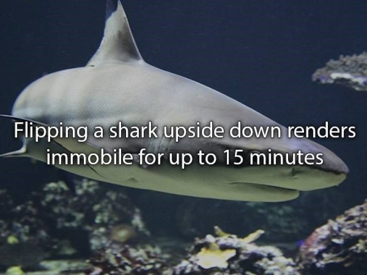 Fish - Flipping a shark upside down renders immobile for up to 15 minutes