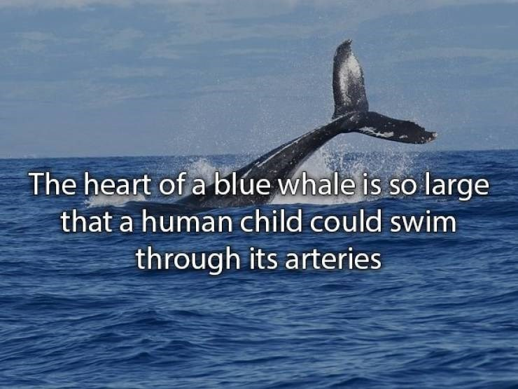 Adaptation - The heart of a blue whale is so large that a human child could swim through its arteries