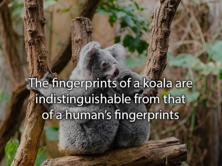 Koala - The fingerprints of a koala are indistinguishable from that of a human's fingerprints