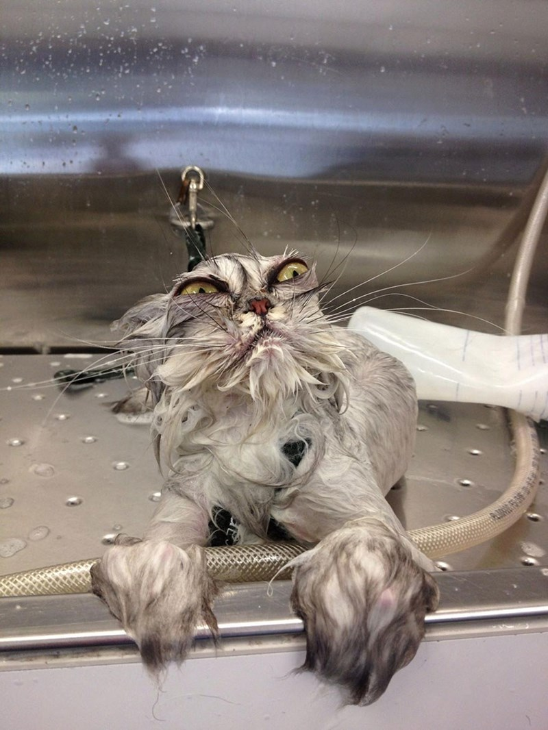 a cute picture of a wet grey cat in a sink