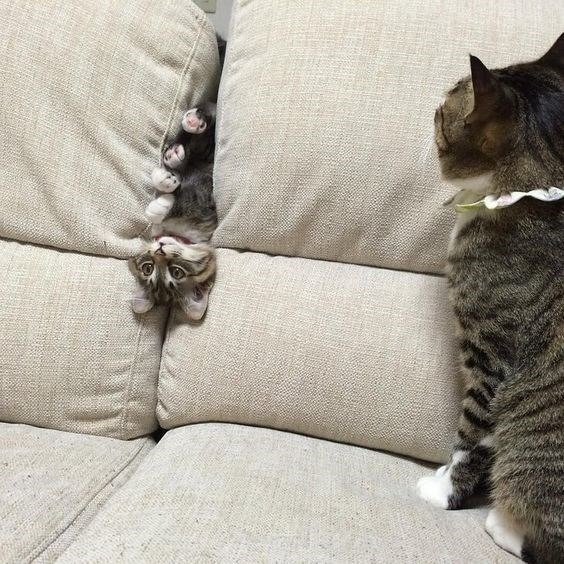 a cute picture of a kitten upside down in between couch cushions with a cat watching it
