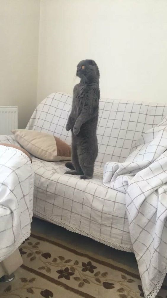 a cute picture of a grey cat standing on it's hind legs