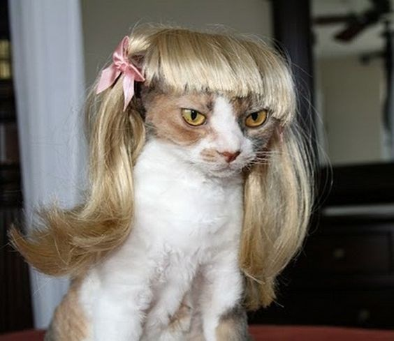 a cute picture of an angry cat wearing a blonde wig