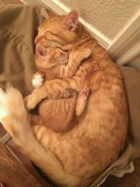 a cute picture of a ginger cat hugging a ginger kitten while they sleep