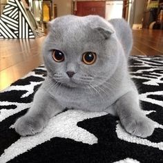 a cute picture of a grey kitten