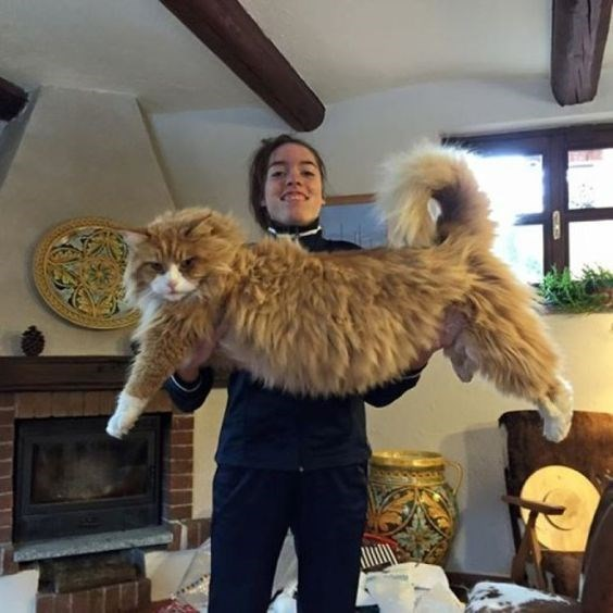 a cute picture of a woman holding a large ginger cat