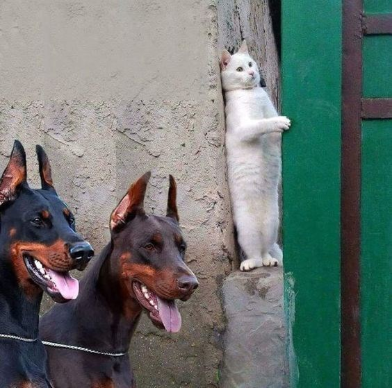 a cute picture of a white cat standing on its hind legs beside a wall looking scared while two dogs walk past