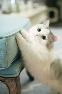 a cute picture of a grey and white kitten stretching its paws on a blue couch