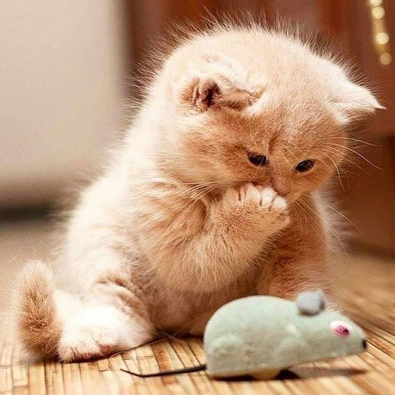a cute picture of a ginger cat playing with a toy mouse