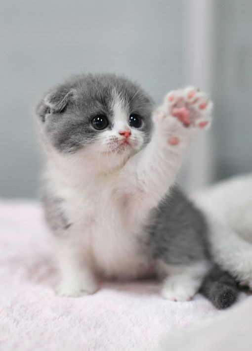 a cute picture of a grey and white kitten raising its paw