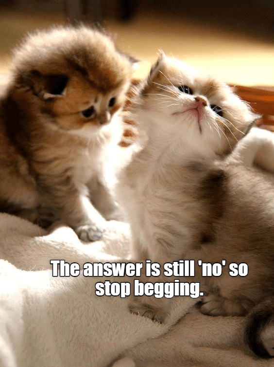 Cat - The answer is still 'no' so stop begging.