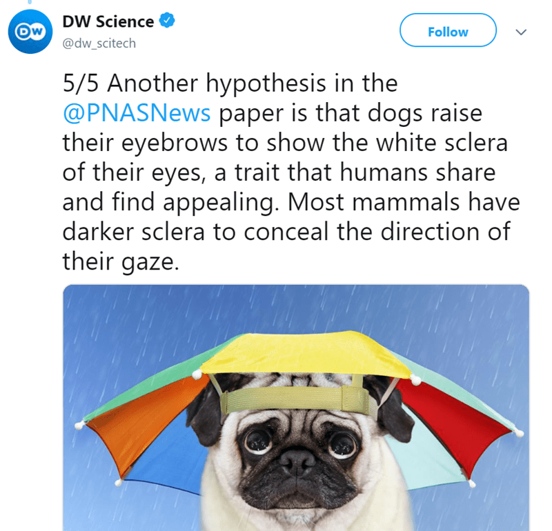 puppy eyes - Pug - DW Science DW Follow @dw_scitech 5/5 Another hypothesis in the @PNASNews paper is that dogs raise their eyebrows to show the white sclera of their eyes, a trait that humans share and find appealing. Most mammals have darker sclera to conceal the direction of their gaze.