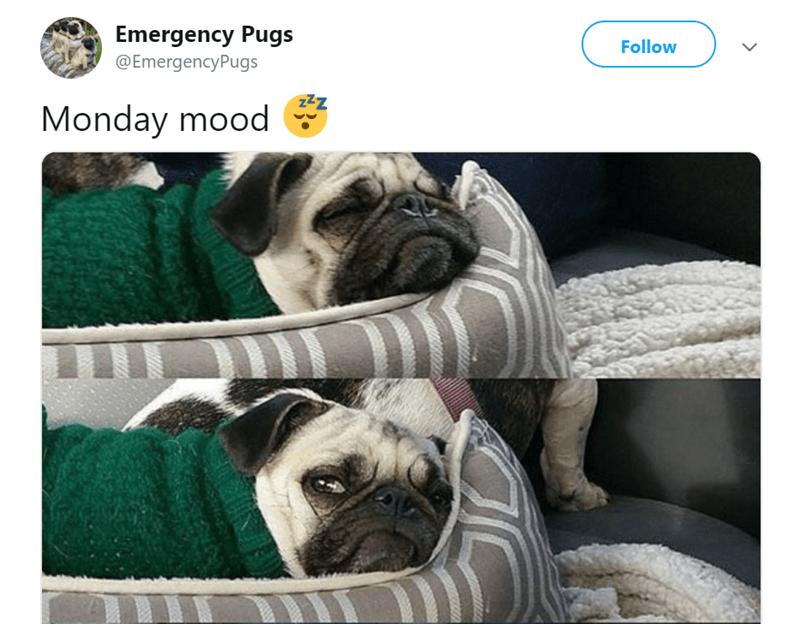 pug tweet - Pug - Emergency Pugs Follow @EmergencyPugs Zz Monday mood