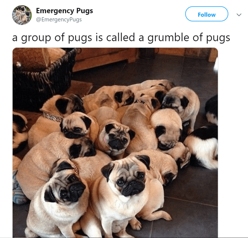 pug tweet - Dog - Emergency Pugs @EmergencyPugs Follow a group of pugs is called a grumble of pugs