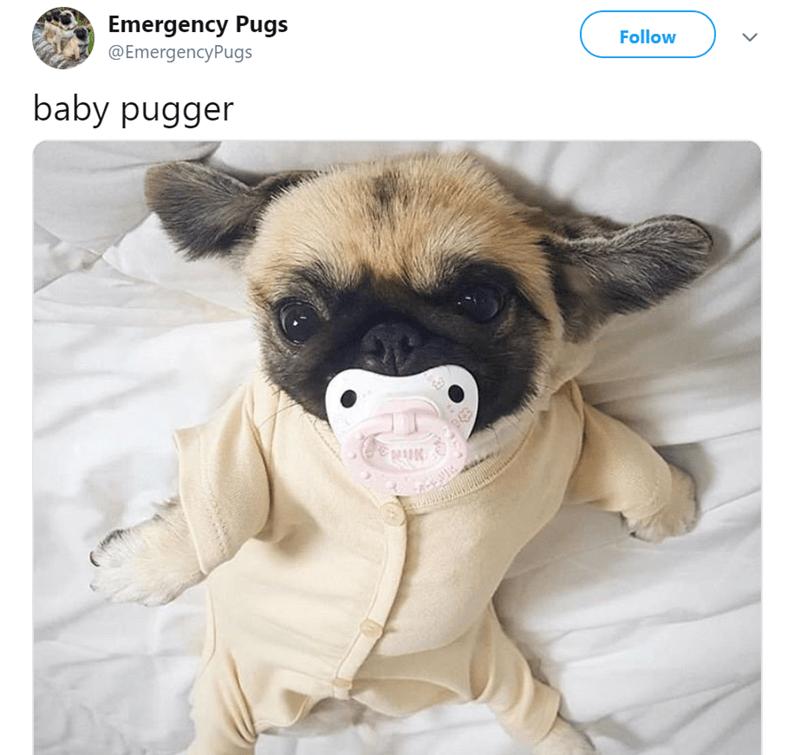 pug tweet - Pug - Emergency Pugs Follow @EmergencyPugs baby pugger