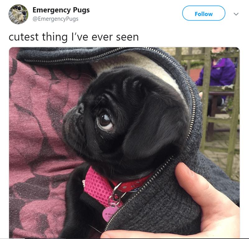 pug tweet - Dog - Follow Emergency Pugs @EmergencyPugs cutest thing l've ever seen it Bles THi