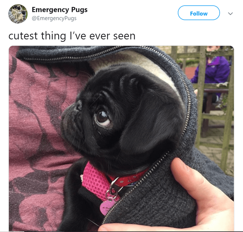pug tweet - Dog - Follow Emergency Pugs @EmergencyPugs cutest thing l've ever seen it Bles THi