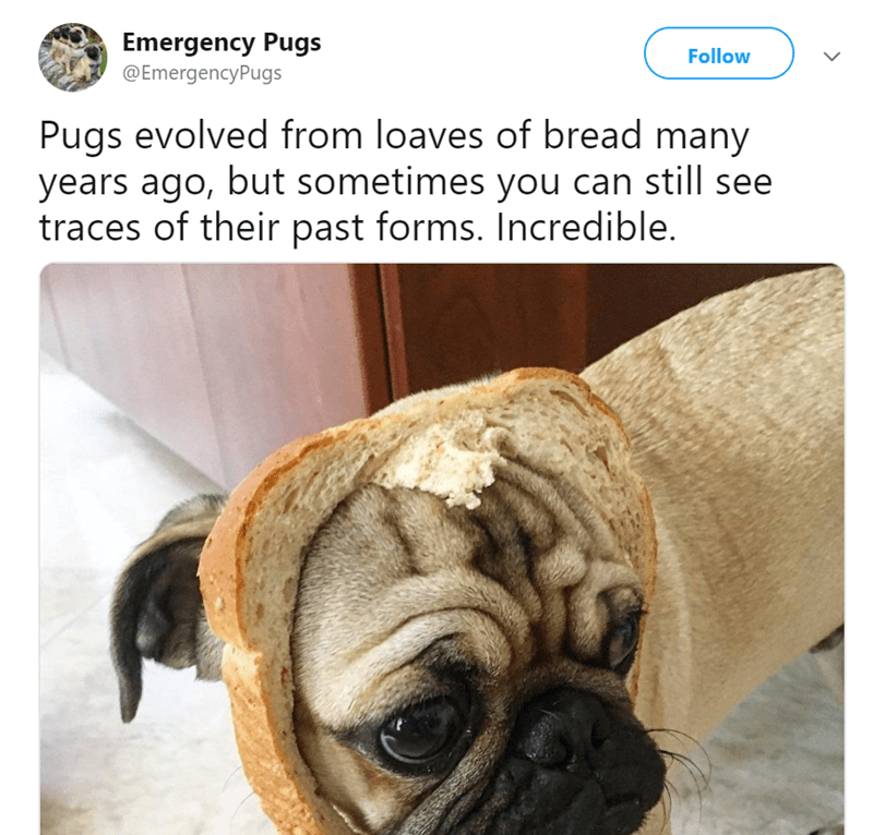 pug tweet - Pug - Emergency Pugs @EmergencyPugs Follow Pugs evolved from loaves of bread many years ago, but sometimes you can still see traces of their past forms. Incredible.