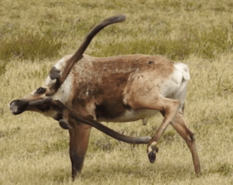 Caribou scratching an itch on its hoof using its antlers, before panning over his family
