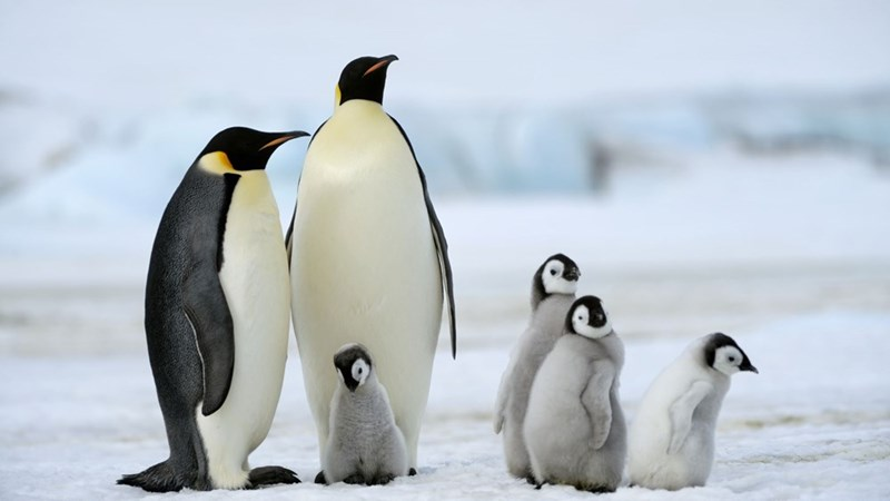 two adult emperor penguins and four penguin chicks