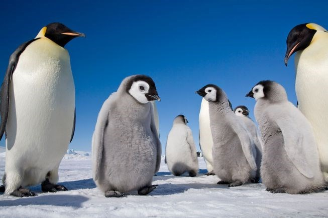 a grey baby penguin chicks with two adult penguins