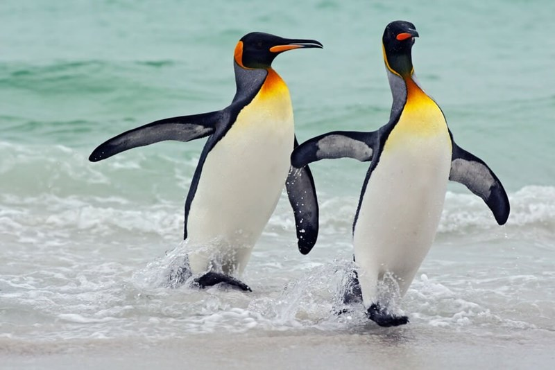 two penguins walking out of the ocean