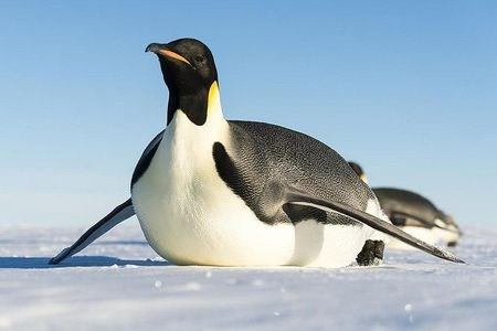 an emperor penguin sliding on its stomach