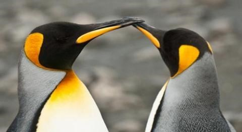 two penguins with yellow patches touching beaks
