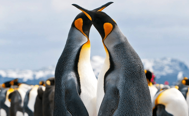 two adult emperor penguins intertwining their necks