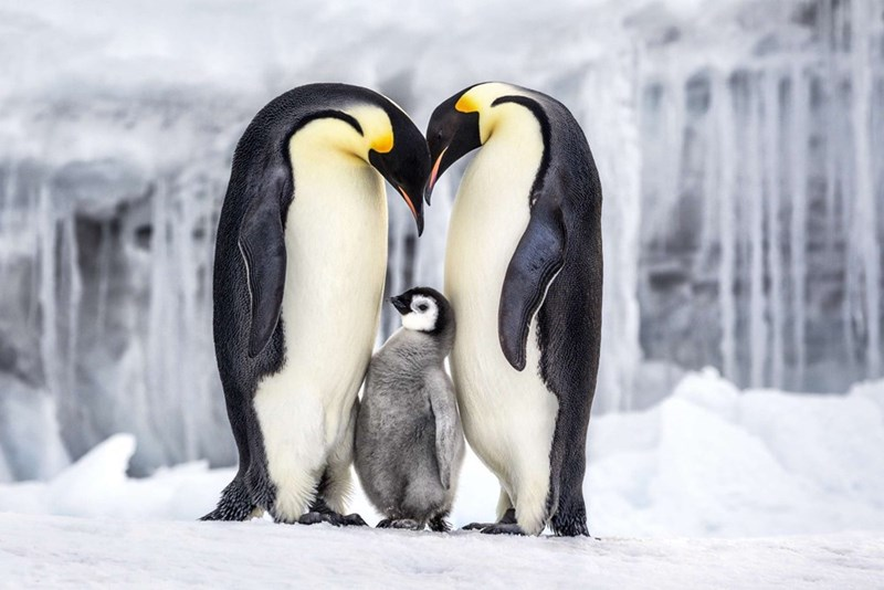 two adult emperor penguins standing with their heads together with a penguin chick between them
