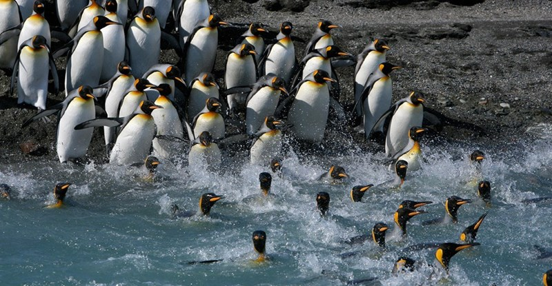 a large group of penguins wading into the ocean