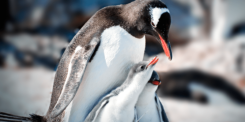 an adult penguin feeding two chicks