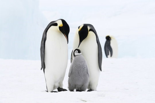 a mother and father emperor penguin looking at their chick